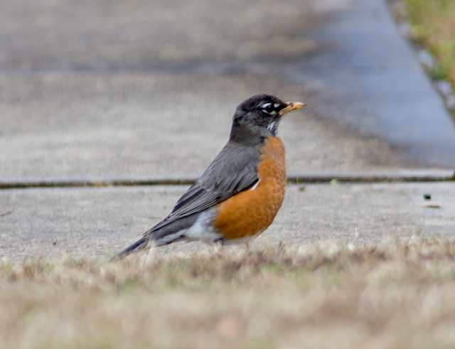 robin - the first sign of spring